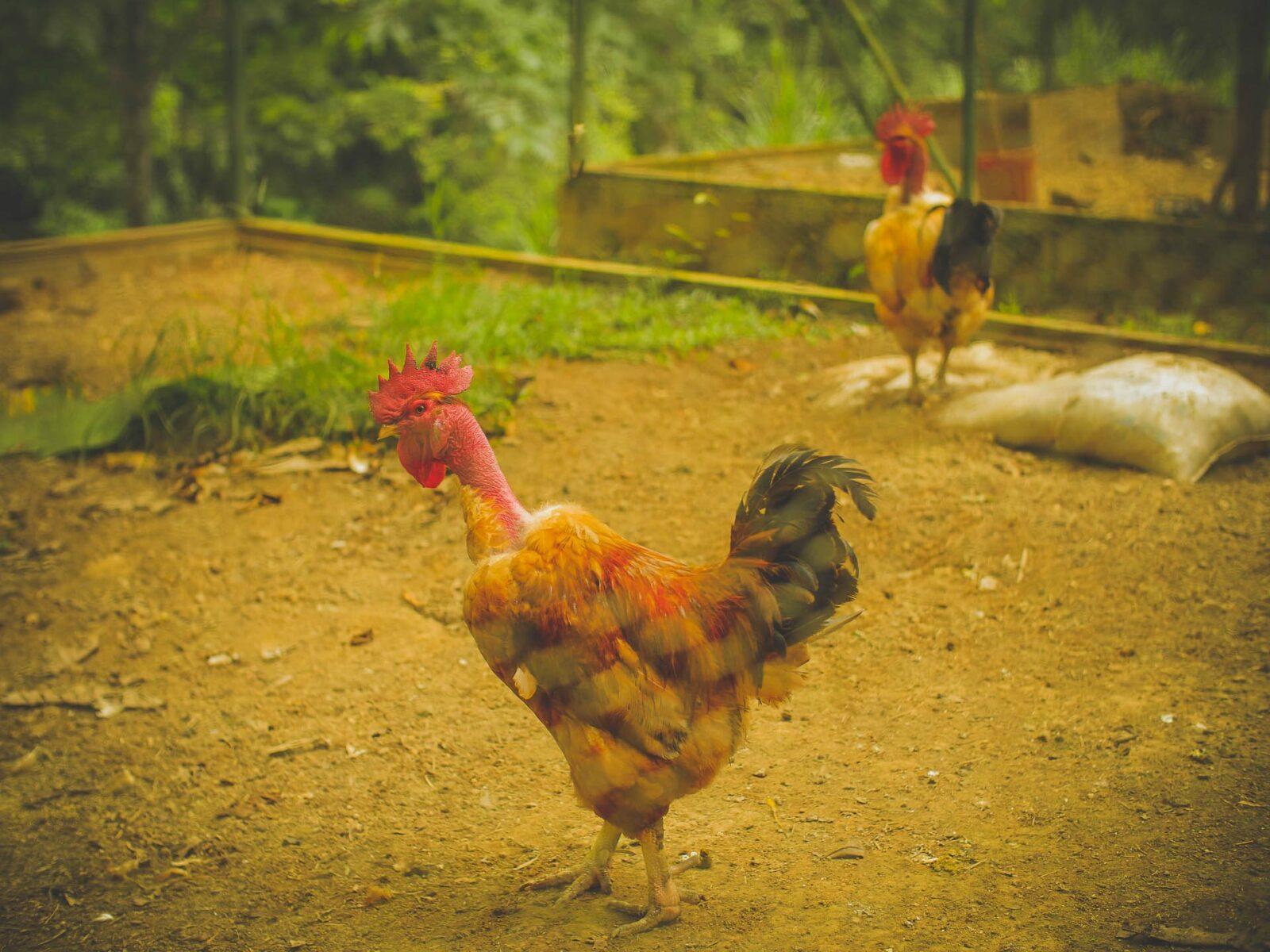 chickens in costa rica